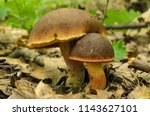 Small photo of Two lurid bolete mushrooms (Boletus luridus, large and small) growing in the forest among dry leaves, green plants and leaves in the background, close-up