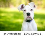 a white great dane puppy with... | Shutterstock . vector #1143639431