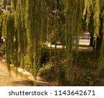 weeping willow in urban area...   Shutterstock . vector #1143642671