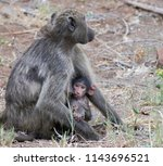 suckling baboon  kruger... | Shutterstock . vector #1143696521