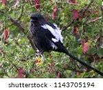 long tailed shrike  kruger... | Shutterstock . vector #1143705194