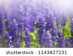 bumblebee and lavender flowers... | Shutterstock . vector #1143827231