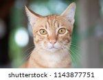 portrait of ginger cat looking... | Shutterstock . vector #1143877751