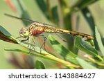 common darter dragonfly ...   Shutterstock . vector #1143884627