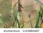 common darter dragonfly ...   Shutterstock . vector #1143884687