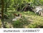 chickens in the yard to the... | Shutterstock . vector #1143886577