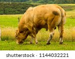 a huge and strong muscled bull...   Shutterstock . vector #1144032221