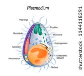 plasmodium is the malaria... | Shutterstock .eps vector #1144118291