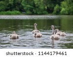 Cygnets Swimming On Water