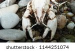 a skeleton of a river cancer on ... | Shutterstock . vector #1144251074