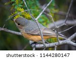 dainty little buff rumped... | Shutterstock . vector #1144280147