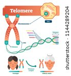 telomere vector illustration.... | Shutterstock .eps vector #1144289204