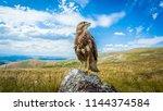 buzzard  common buzzard ... | Shutterstock . vector #1144374584