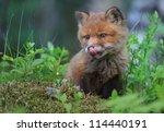 Stock photo a baby fox 114440191