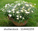 Bush of beautiful white chrysanthemum in a basket on  a lawn - stock photo