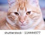 Ginger Cat Portrait Studio Shot