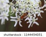 common red soldier beetle ... | Shutterstock . vector #1144454051