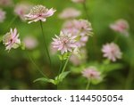 pink blossoms if astrantia... | Shutterstock . vector #1144505054