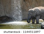 asian elephant herd taking a... | Shutterstock . vector #1144511897