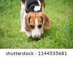 cute beagle dog running on the... | Shutterstock . vector #1144535681