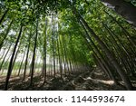 poplar forest in fuente... | Shutterstock . vector #1144593674