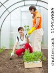 Female gardeners planting tomato spouts in hothouse - stock photo