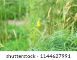 the wild green grass growing... | Shutterstock . vector #1144627991
