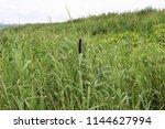 the wild green grass growing... | Shutterstock . vector #1144627994