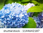 Beautiful Blue Hydrangea Or...