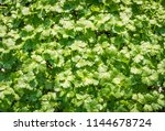 flat leaved parsley.... | Shutterstock . vector #1144678724