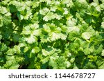 flat leaved parsley.... | Shutterstock . vector #1144678727