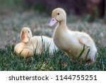 Two Nice  Ducklings Walking In...