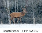 red deer stag  majestic... | Shutterstock . vector #1144765817