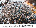 huge spherical bush of flowers...   Shutterstock . vector #1144767821