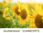 sunflower natural background ... | Shutterstock . vector #1144815971
