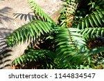 green fern palm leaves in... | Shutterstock . vector #1144834547