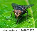 exotic drosophila fruit fly... | Shutterstock . vector #1144835177