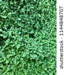 photo of a helxine soleirolii ... | Shutterstock . vector #1144848707