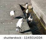 the ibis is cleaning their... | Shutterstock . vector #1145014334