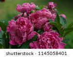 pink peony herbaceous hybrid ... | Shutterstock . vector #1145058401