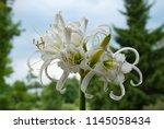 ismene deflexa flowering plant... | Shutterstock . vector #1145058434