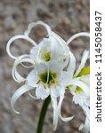 ismene deflexa flowering plant... | Shutterstock . vector #1145058437
