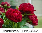 red peony herbaceous hybrid ... | Shutterstock . vector #1145058464