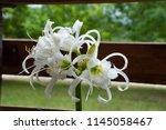 ismene deflexa flowering plant... | Shutterstock . vector #1145058467