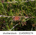 dainty small red grevillea... | Shutterstock . vector #1145090174