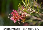 dainty small red grevillea... | Shutterstock . vector #1145090177