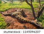 dead south african giraffe or... | Shutterstock . vector #1145096207