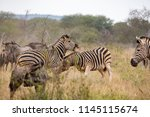 wild zebras in the savannah of  ... | Shutterstock . vector #1145115674