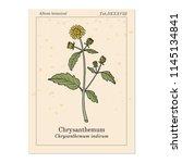 chrysanthemum indicum ...   Shutterstock .eps vector #1145134841