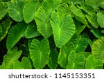 areas. big green leaf used as... | Shutterstock . vector #1145153351